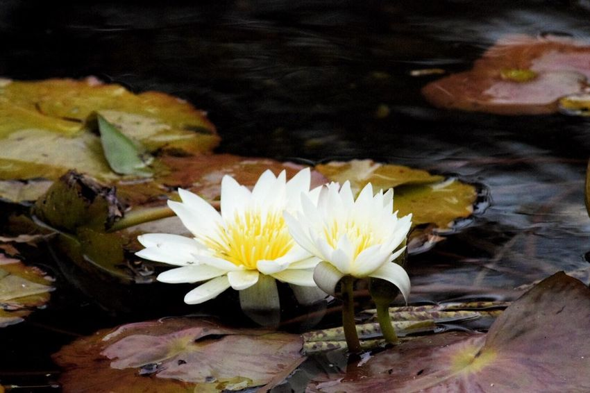Water Flower Water Lily Floating On Water Pond Lake Lotus Water Lily Beauty In Nature Flower Head Water Surface Blooming Plant Tranquility Botany Flowers,Plants & Garden Two Flowers Waterlilies Waterlilypond Flowers Floating On Water Floating Flowers