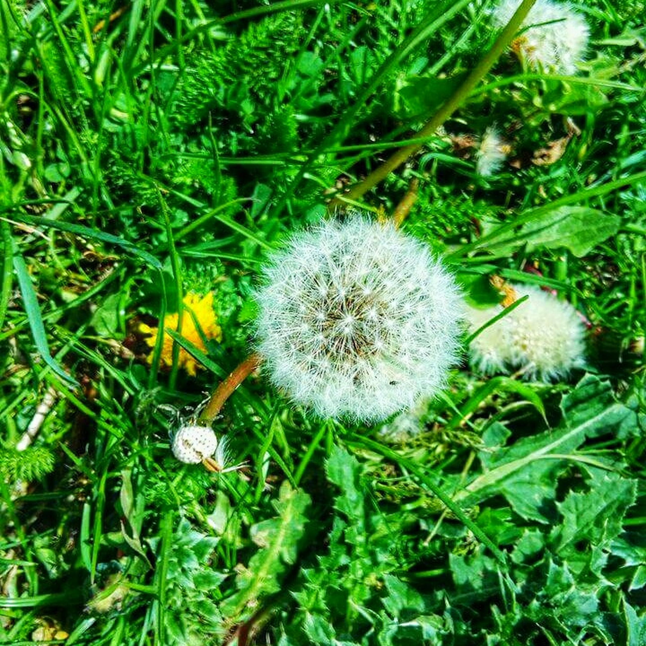 dandelion, fragility, growth, flower, close-up, freshness, plant, nature, beauty in nature, green color, single flower, softness, day, field, uncultivated, springtime, flower head, outdoors, blooming, focus on foreground, in bloom, no people, tranquility, grassy, blossom, dandelion seed, growing