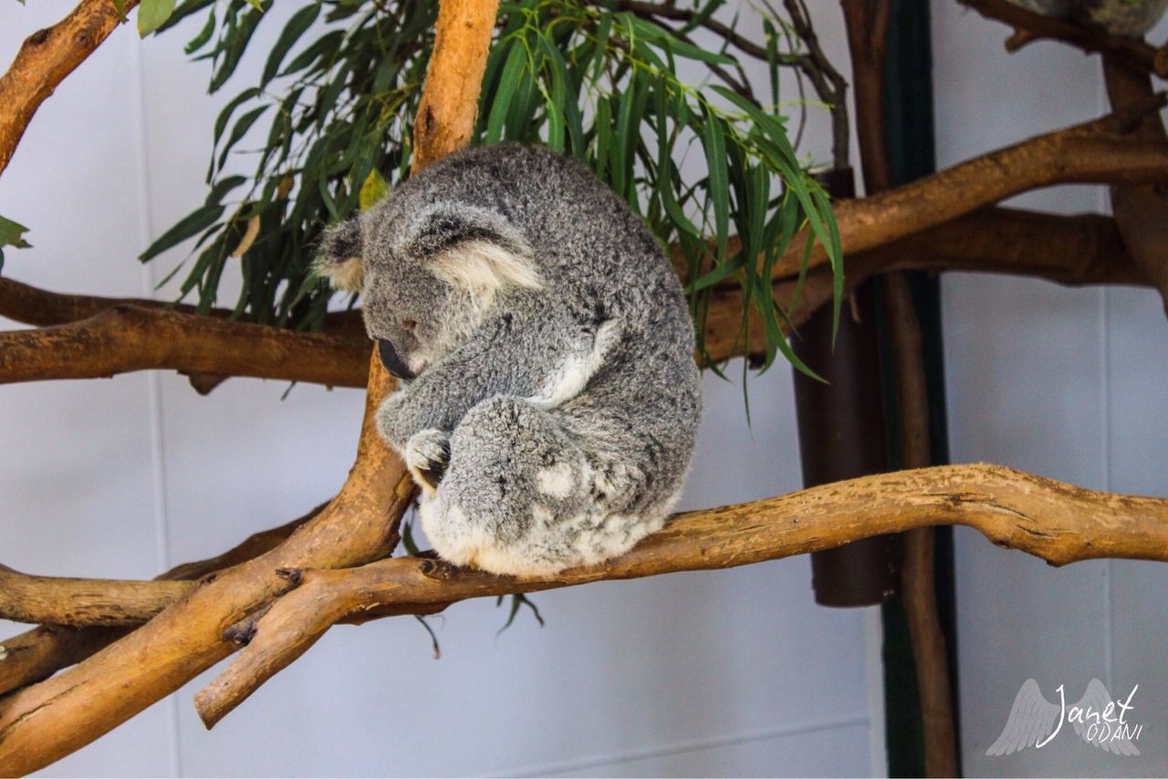 one animal, branch, mammal, no people, animal themes, hanging, relaxation, koala, close-up, animals in the wild, nature, day, tree, indoors