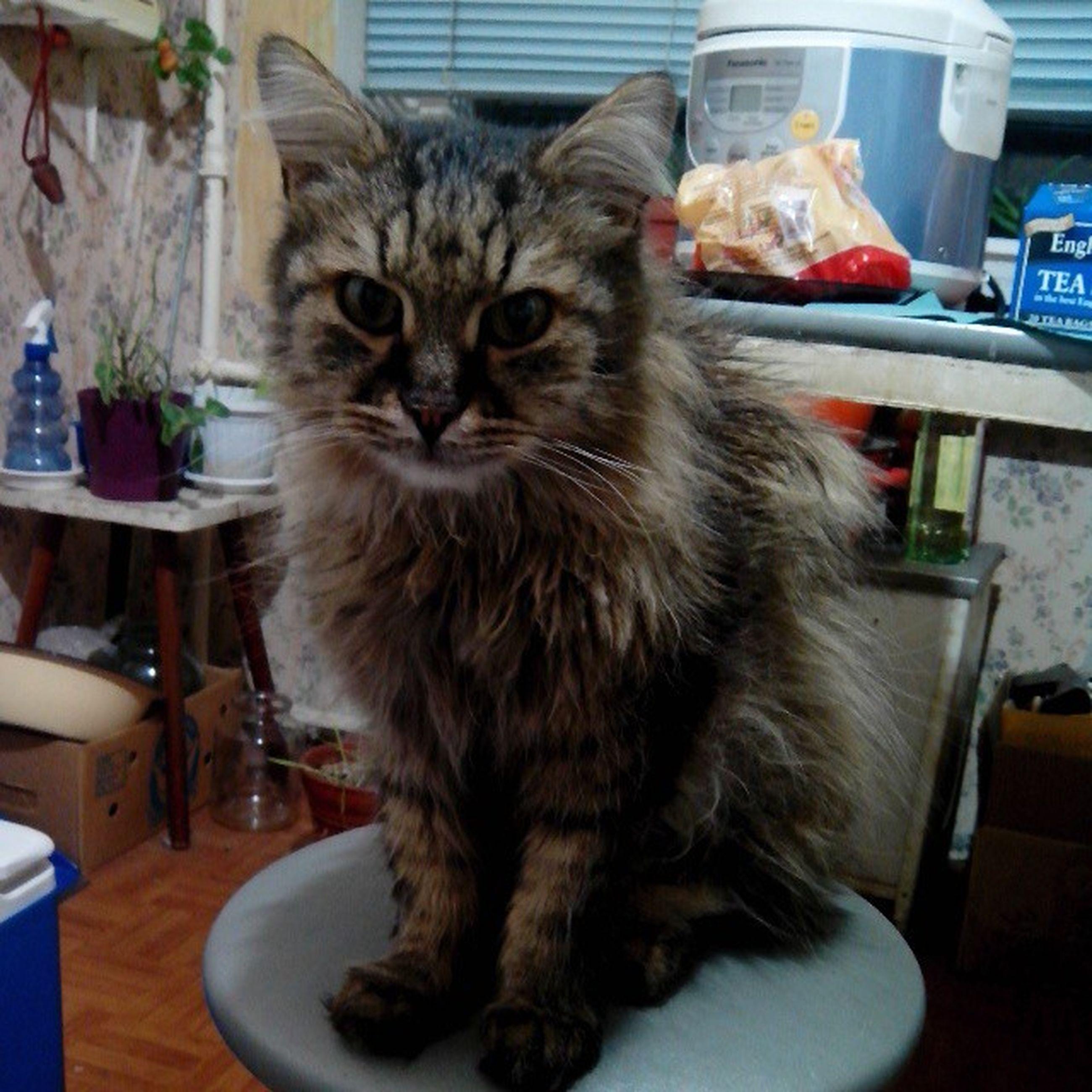 indoors, domestic cat, pets, domestic animals, cat, animal themes, one animal, table, mammal, feline, whisker, home interior, portrait, looking at camera, sitting, close-up, chair, home, no people, food and drink