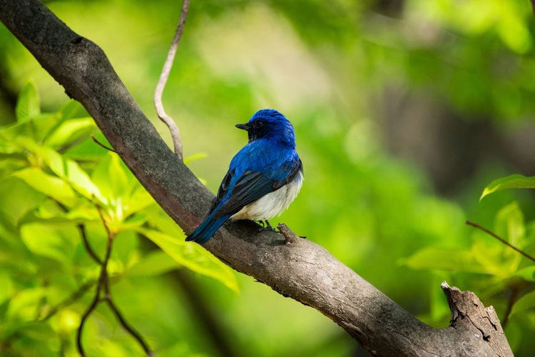 blue bird Animal Themes Animal Wildbird Wildbirds Wildlife Nature Bluebird Blue And White Blue And White Flycatcher Bird Perching Tree Branch Blue Full Length Close-up