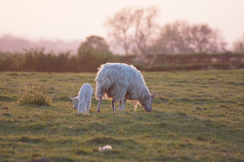 A sheep with her lamb grazing at sunset. Beauty In Nature Nature_collection EyeEm Best Shots Side View Selective Focus Close-up Outdoors Dusk Sunset Two Animals White Color Green Color Lamb EyeEm Selects Plant Mammal Field Grass Domestic Animals Animal Themes Livestock Pets Vertebrate Sheep Land Nature Grazing No People Landscape Tree