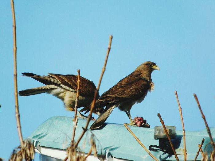 Low angle view of two alert sparrow hawks
