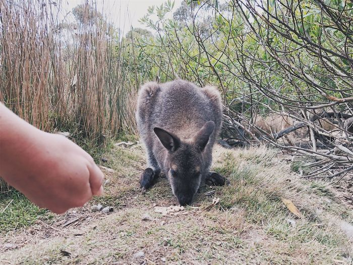 Wallaby One Animal Animal Themes Animals In The Wild Human Hand Mammal Real People Animal Wildlife