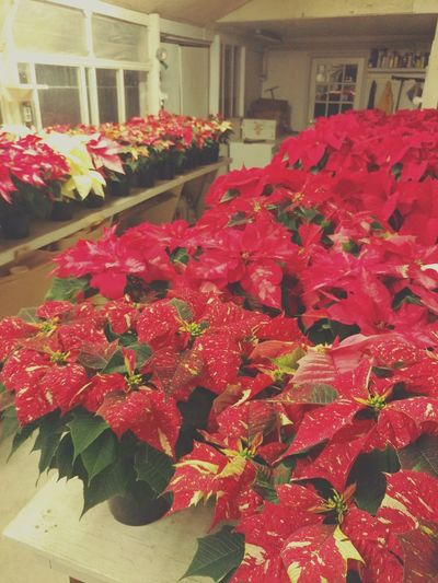 Greenhouse Greenhouse Plants Poinsettias Plant Varieties Red Color Red Plant Red Leaf Indoors  Red Freshness Flower Abundance Indoors  Day No People