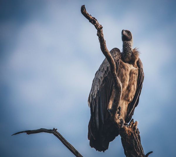 Low angle view of vulture perching on bare tree against sky