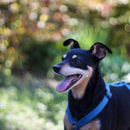 Zwergpinscher Pinschertedesco Pincher Minipin Pinscher Dog Bokeh Cane Garden Loveyou Cutedog Cute