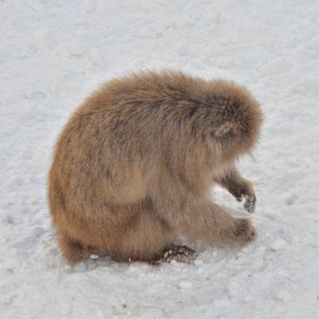 雪玉作ってるお猿さん。 Snow Monkey is Making Snowballs. Animal Watching Animals In The Wild Animal Themes One Animal Winter Outdoors Capture The Moment EyeEm Nature Lover Animal Photography From My Point Of View