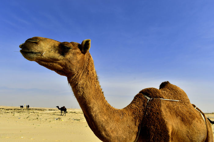 Animals In The Wild Camera Desert Animal Animal Theme Animal Themes Animal Wildlife Backgrounds Blue Sky Camel Camels Clear Sky Close-up Desert Desert Background Desert Beauty Desertrose Domestic Animals Mammal Nature One Animal Outdoors Sand Background Sandy Sky