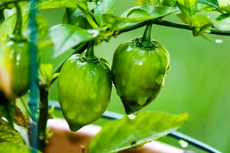 High angle view of wet pepper growing on plant