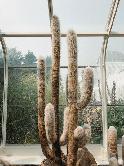 Old man cactus inside a glass greenhouse Desert Cacti Day Nature Cactus Succulent Plant Glass - Material No People Window Plant Sky Growth Transparent Outdoors Greenhouse Sunlight Beauty In Nature Built Structure