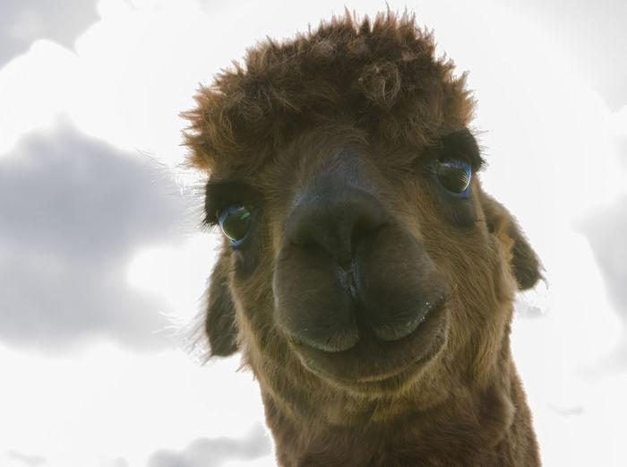 Low angle portrait of alpaca against sky