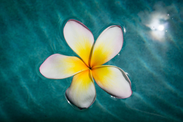 Close-up of frangipani on blue flower