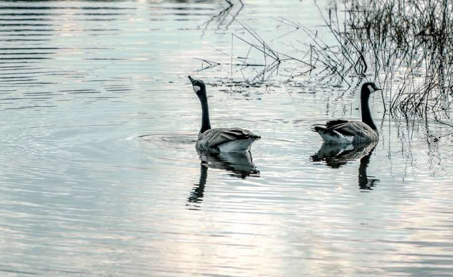 Elegance. Animal Themes Animals In The Wild Beauty In Nature Bird Birds Canada Canada Geese Canada Goose Fowl Geese Natural Habitat Nature Naturelovers Ontario, Canada Pond Reflection Reflections In The Water Showcase September Swimming Swimming The Week On EyeEm Tranquility Water Waterfront Wildlife