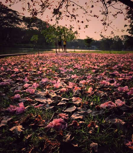 Nature Flower Beauty In Nature Sunset Outdoors Purple Landscape Field Tranquility People Growth Adult Autumn Scenics Rural Scene Sky Men Tree Day Low Angle View Spring Sprinkle