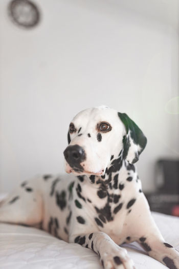 Snowflake wanting his treat. Vscocam Dogs Dalmatians Canonuk Cute Ukdogs EyeEm Best Shots EyeEmNewHere EyeEmBestPics EyeEm Selects EyeEm Gallery Eye4photography  EyeEm Masterclass Eyeem Market Doggy Eyeempets London Dog Protruding Puppy Canine