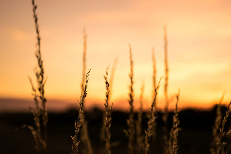 Close-up of plants against sky during sunset