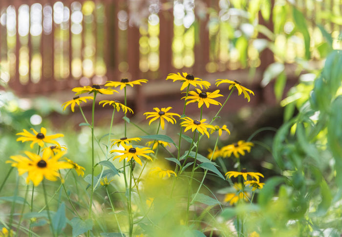 Black Eyed Susans in garden with bridge in background August Beautiful British Columbia, Canada Creek Gardening Green Rudbeckia Hirta Sparkling Black-eyed Susans Blooming Bokeh Bridge Close-up Garden Glowing Idyllic Nature Outdoors Rudbeckia Selective Focus South Okanagan Summer Sunshine Yellow Yellow Flowers