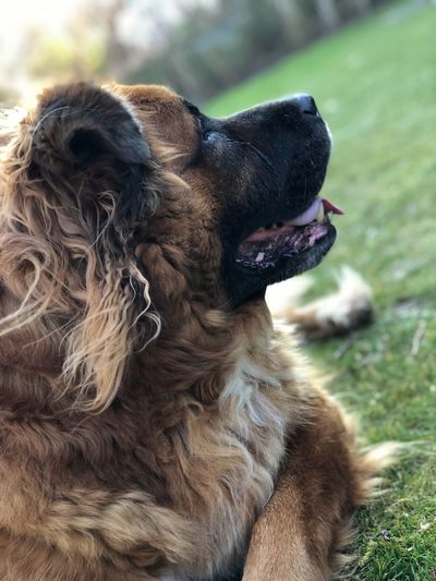 Zino 💜 Leonberger Animal Doglover IPhone Photography IPhone 8 Plus IPhoneography Eyemphotography Week On Eyeem Dogs Dog Dog Pets Domestic Animals Mammal One Animal Animal Themes Day Outdoors No People Close-up Sticking Out Tongue Nature