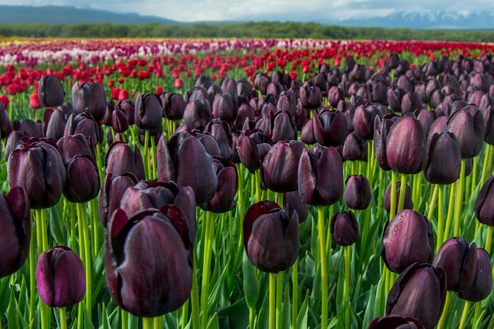 Queen of Night Tulips growing in Trevelin (Chubut, Argentina). In Argentina, tulips are grown near a little town called Trevelin, in Chubut Province. The bulbs are planted in May (Autumn), then the plants bloom between October and November (spring), and people can visit this plantations. After flowering, flowers are cut to concentrate the storage of nutrients in the bulbs. Then, the bulbs are harvested and exported to other countries Trevelin Agriculture Beauty In Nature Blooming Close-up Day Field Flower Flower Head Flowerbed Fragility Freshness Green Color Growth Nature No People Outdoors Plant Rural Scene Tranquility Tulip The Great Outdoors - 2018 EyeEm Awards