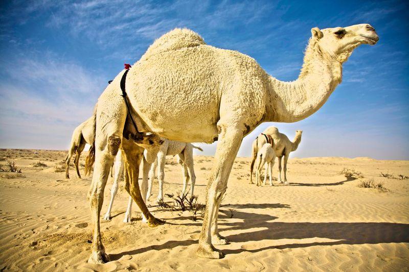 Camel Land Sand
