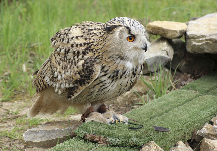 Close-up of owl perching on rock