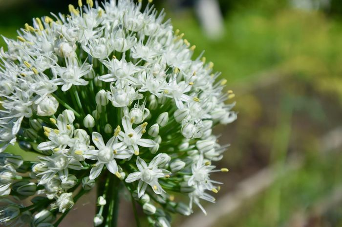 Farm Beauty In Nature Botany Close-up Flower Flower Head Flowering Plant Fragility Freshness Garden Growth Inflorescence Nature No People Onion Flower Outdoors Plant White Color White Flower