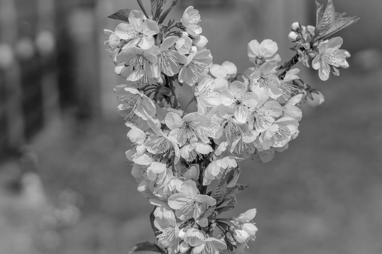 EyeEm Selects 50mm Colors Garden Bokeh Cherry Blossom Blossom Cherry Tree EyeEm Best Shots EyeEmNewHere Nature Close-up Blackandwhite EyeEmBestPics Abstract Colorful EyeEm Gallery Flower Head Flower Butterfly - Insect Springtime Summer Petal Branch Pastel Colored Blossom Bouquet Wilted Plant Dried Plant Pollination