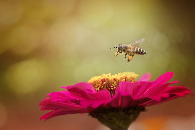 Close-up of bee flying over pink flower