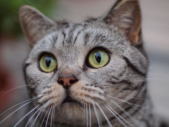 Djamilla, miss green eyes😻 Silver Tabby British Shorthair Tabby Green Eyes