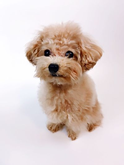 You are the apple of my eyes Dog Pets Studio Shot Poodle Mylove Mybestfriend Love