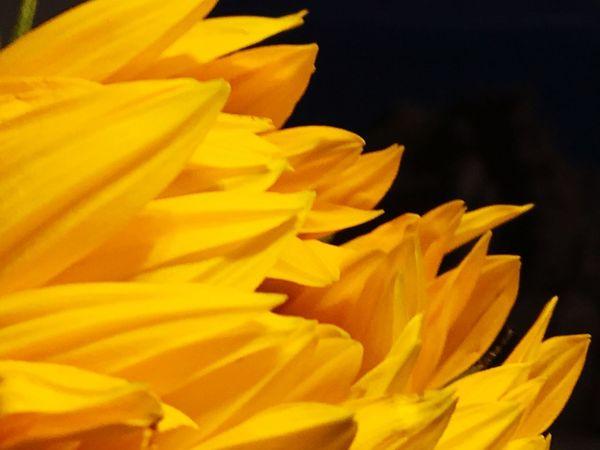 Sonnenblume, Sonnenblumen 🌻, Flames Fire Sunflower Yellow Petal Flowering Plant Fragility Vulnerability  Flower Freshness
