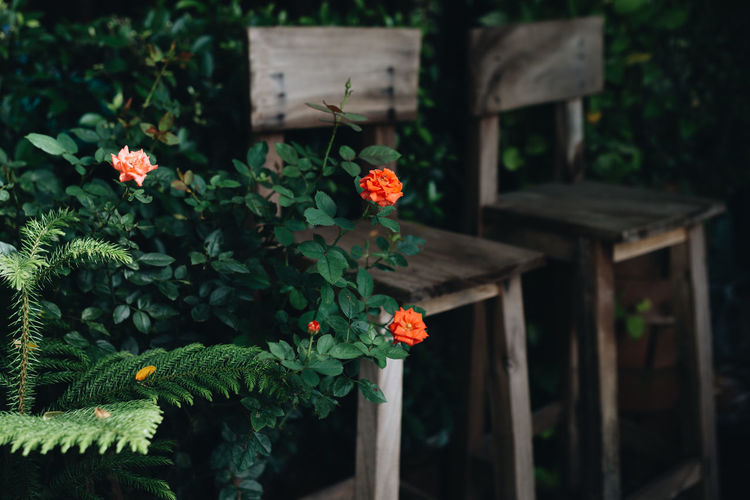 Orange rose blooming by chairs in back yard