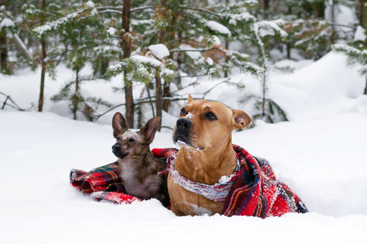 Two dogs on red checkered plaid on a snow on a background winter coniferous forest.