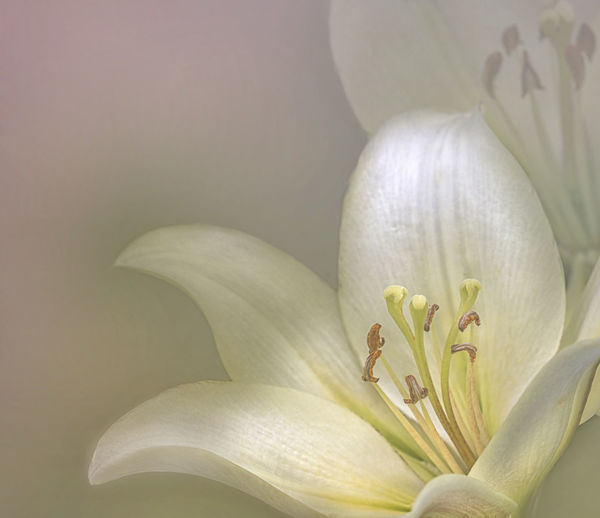 Nature Photography Sunlight Close-up Flower Head Light And Shadow Lilies In Bloom Macro White/cream