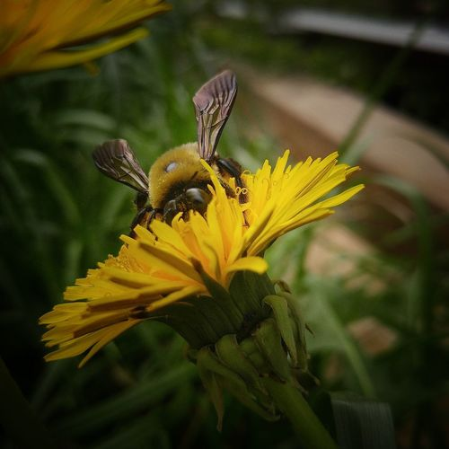 Flower Insect Fragility Plant Yellow Nature Petal Growth Beauty In Nature No People Day Close-up Focus On Foreground Blossom Springtime EyeEm Best Shots Bee Collecting Nectar Pollination Save The Bees Bee 🐝 Macro Macro Photography Dandelion Carpenter Bee
