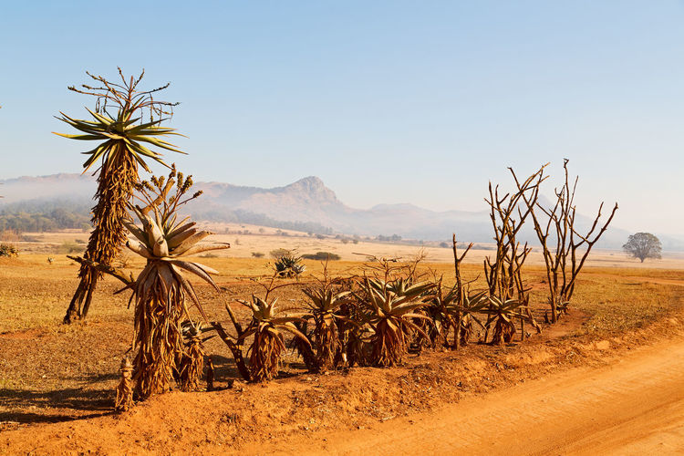 Africa Grass Sky Field Mountain Savanna Landscape Park Nature Tree Black Dirty Acacia Serengeti Cloud View South National Flower Cactus Scenery Travel Dry Meadow Mlilwane South Africa Wildlife Sanctuary Lesotho Swaziland  Background Valley Plain Scenic Horizon Land Outdoor Environment Growth Bush Rift Wide Safari Fog Plant Distance Vanishing Ground Perspective Blur White