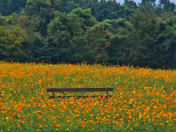Fragrance of autumn. Simple Quiet Love コスモス Japan Shizuoka M.ZUIKO DIGITAL Lumix G9 Bench Autumn Tranquil Scene Tranquility Scenics Day Tree Outdoors No People Beauty In Nature Nature Flower Collection Cosmos Flower Orange Color Flowers Flower
