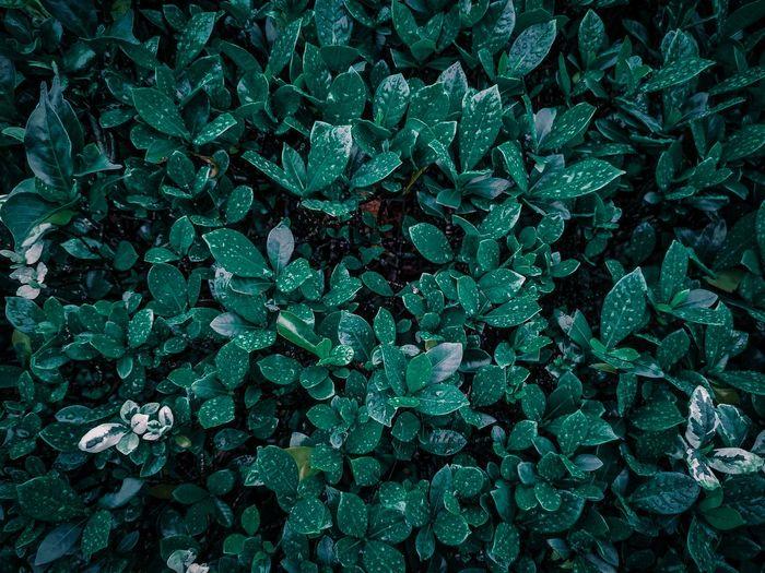 Full frame shot of wet leaves on field