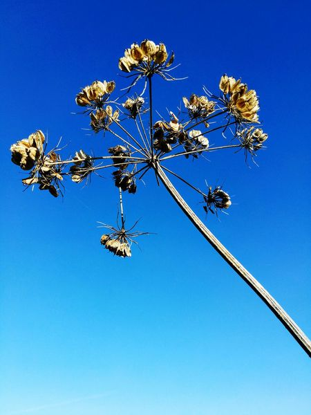 Seed Head Nature Blue Sky Low Angle View Close-up Winter Outdoors First Eyeem Photo