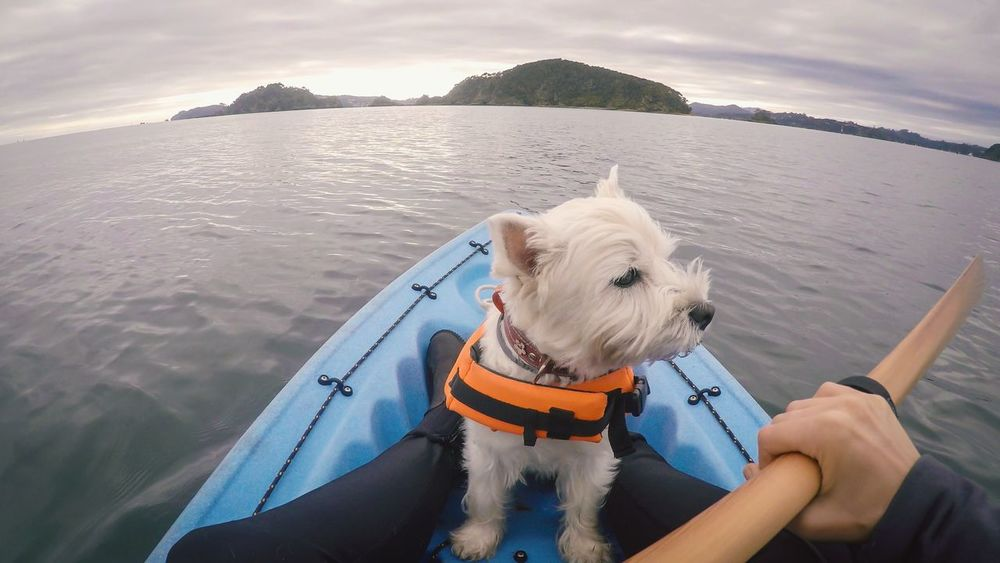 West highland white terrier westie dog wearing a life jacket while kayaking at Paihia, Bay of Islands, New Zealand, NZ. Vacations Travelling Safety Life Vest Lifejacket Paddling Kayaking Kayak Travelling NZ New Zealand Bay Of Islands, NZ Bay Of Islands Paihia Pet Westie Exploring Exploration Adventure EyeEm Selects Dog Sea Water Pets Mode Of Transport Day Outdoors Nature One Animal West Highland White Terrier