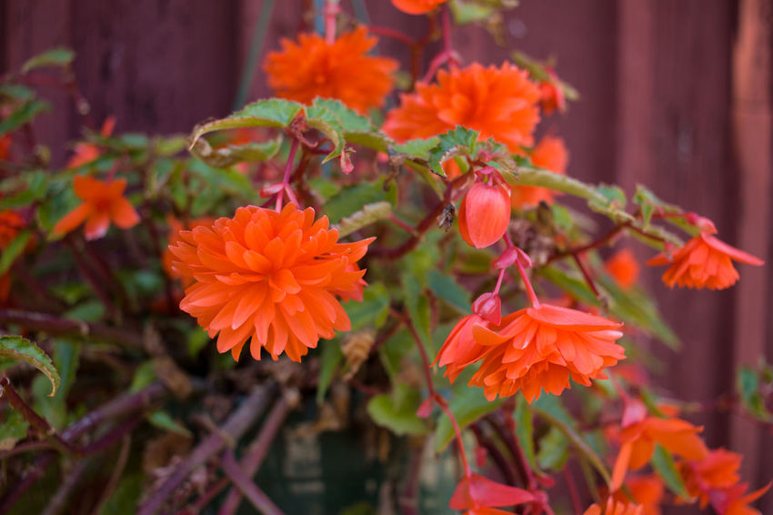 Begonia Flower Beauty In Nature Begonia Blooming Close-up Day Flower Flower Head Focus On Foreground Fragility Freshness Growth Nature No People Orange Color Outdoors Petal Plant