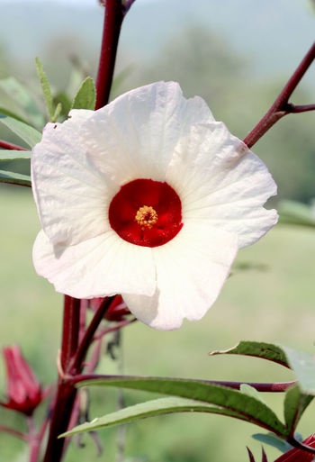 White Flowers and red Pollen during Spring with abundance in Thailand. Thai Thailand Travel Summer Holiday Health Healthcare Relax Recreation  Abundant Abundance Pure Nature White Flower Roselle Pure Air Spring Time Flower Head Flower Poppy Plant Pod Red Defocused Horticulture Springtime Hibiscus Multi Colored Flowering Plant Day Lily Stamen Pollen