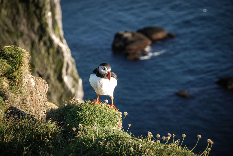 Iceland Puffin Animal Themes Animal Wildlife Animals In The Wild Beauty In Nature Bird Day Mammal Nature No People One Animal Outdoors Perching Rock - Object Water Wildlife