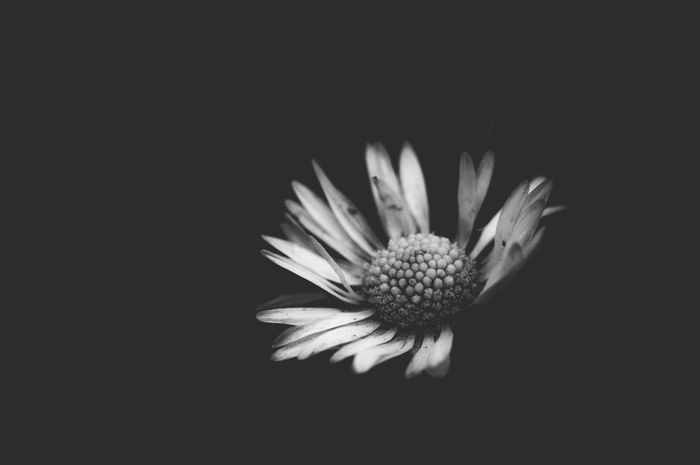 einfach blümchen Beauty In Nature Black Background Blooming Blossom Close-up Copy Space Daisy Flower Flower Head Fragility Growth Lowkey  Lowlight Nature Petal Plant Simple Simplicity Single Flower Wabi-sabi White Color