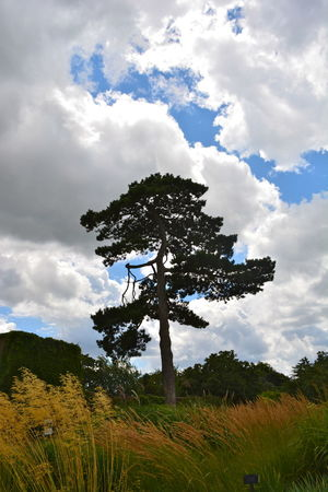 Beauty In Nature Cloud - Sky Coniferous Tree Field Green Color Landscape Low Angle View Nature No People Outdoors Sky Tall Pine Tall Trees Tranquil Scene Tranquility Tree