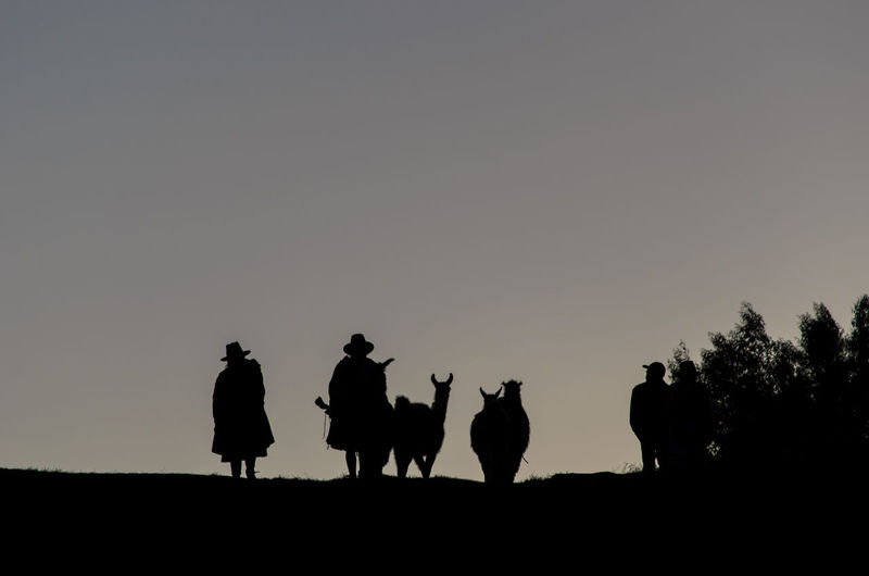 Silhouette men and alpacas on field at dusk