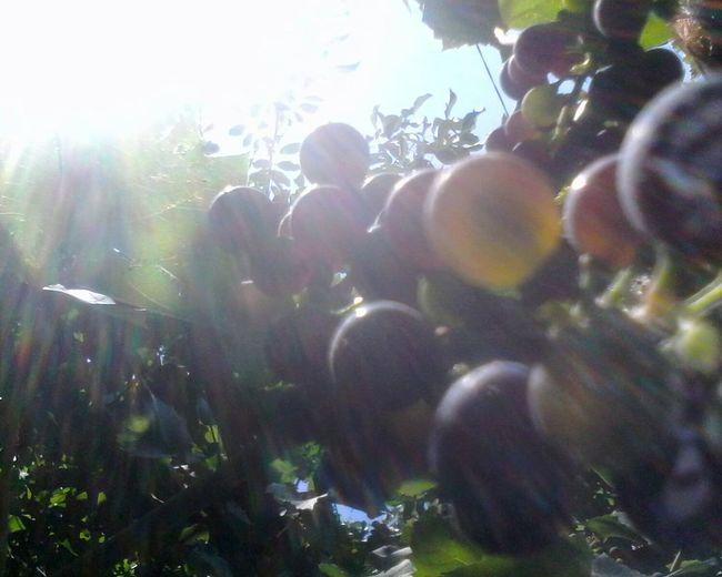 Glitch Unedited Wolfzuachis Nature Eyeem Market Slowfood Grapes Green Light And Shadow Light