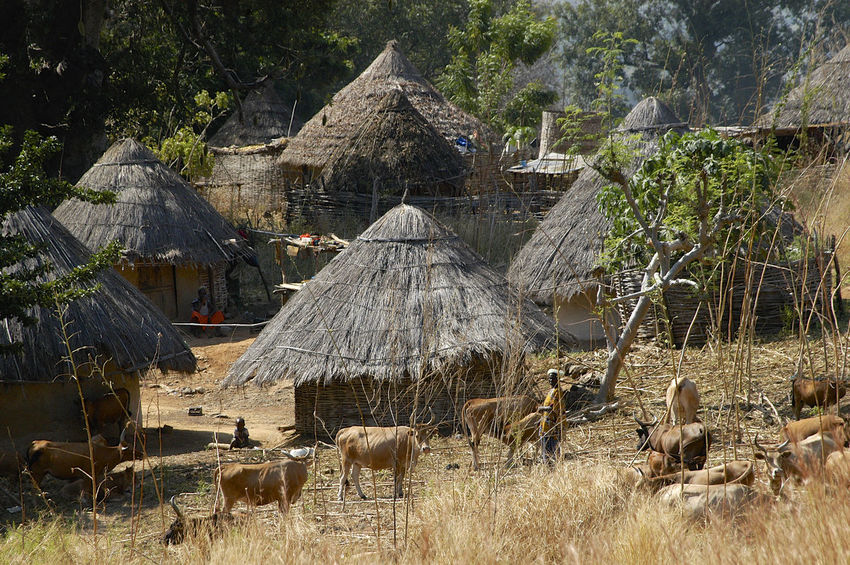 Ibel & Iwol traditional villages Senegal Traditional Culture African Village Animal Themes Architecture Bassari Bassari Country Building Exterior Built Structure Day Domestic Animals Iwol Outdoors Scenics Senegal Thatched Roof Town Traditional Tree Village