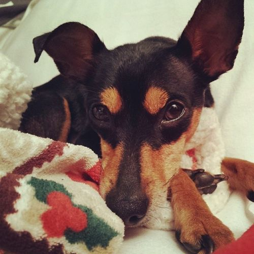 Minipin Cute Puppy Pet Dogs Dog Happy Pinscher Zwergpinscher Happy Love Instadog Dogoftheday Audrey